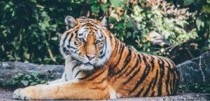 Pexel Tiger