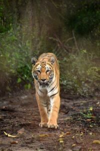 Tiger In teh Jungle r 4619913 1920