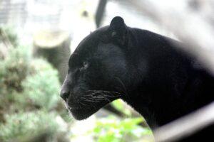 panther 448975 1920